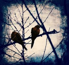 Lovers , Fine art Photography of two Doves, Nature Art, Mininimalist Decor, Winter, Rustic, Blue,