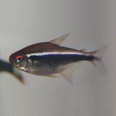 47 best tetras images on pinterest in 2018 aquarium fish fish