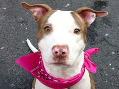 SAFE 3/10/14 Manhattan Center   SUGAR - A0992711  FEMALE, WHITE / TAN, PIT BULL MIX, 1 yr STRAY - STRAY WAIT, NO HOLD Reason STRAY  Intake condition NONE Intake Date 02/27/2014, From NY 10024, DueOut Date 03/02/2014 https://www.facebook.com/photo.php?fbid=765781913434690&set=a.769287436417471.1073743034.152876678058553&type=3&theater