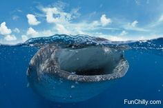 Blue Whale Mouth