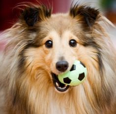 The Shetland Sheepdog originated in the and its ancestors were from Scotland, which worked as herding dogs. These early dogs were fairly Shetland Sheepdog Puppies, Love My Dog, Cute Puppies, Cute Dogs, Dogs And Puppies, Doggies, Animals And Pets, Cute Animals, Pets