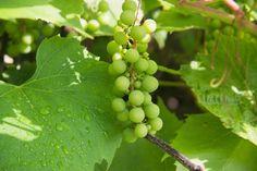 Comment faire une cure de raisins ? Notre article pas-à-pas