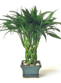 Bambu da sorte: vive em vasos só com água, até em ambientes com ar-condicionado Foto: Divulgação