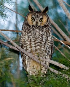 Long Eared Owl, Unique Animals, Beautiful Butterflies, Rock Art, My Eyes, Animal Pictures, Creatures, Painting, Owls