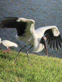 Stork Bird, Storks, Wood, Animals, Animales, Woodwind Instrument, Animaux, Timber Wood, Animal