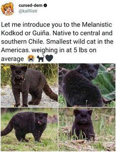 Funny Animal Memes, Cute Funny Animals, Cat Memes, Cute Baby Animals, Cute Cats, Crazy Cat Lady, Crazy Cats, Big Cats, Nature Animals
