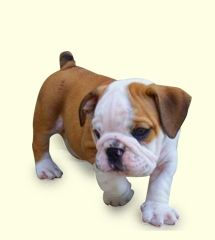 Old English Bulldog Like My Sophia Yes There Is A Difference 3 Old English Bulldog English Bulldog Puppy Pictures