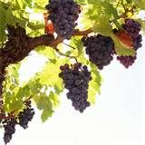Grapes, Tree, Rod, Fruit | Wallpapers Kingdom