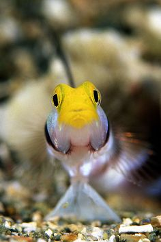 Banded Antennata Gooby by aquanerds *