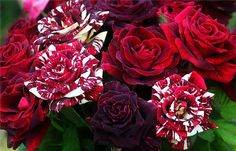 CANDY CANE ROSES. I HAVE GOT TO HAVE THEM