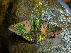Butterflies of Amazonia - Caria mantinea - ZonaCharrua