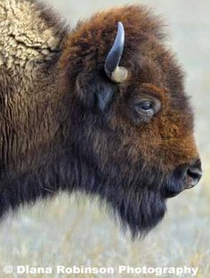 American Bison Side Profile