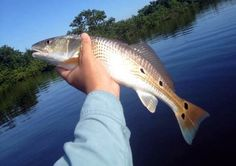 Redfish are one of the most popular fish to catch from Florida's Shores. They are
