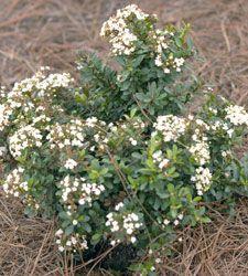 photo of Viburnum obovatum - Walter's Viburnum