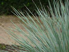 Sierhaver, Blauw straalhaver (Helictotrichon sempervirens) - p9