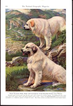 Great Pyrenees Dogs Vintage Print Edward Herbert by RoxyRani