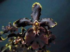FRAGRANT-ALMOST-BLACK-ONDICIUM-WILDCAT-ORCHID-in-FLOWER