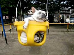 A French Bulldog who is NOT enjoying this Swinging thing, YouTube video