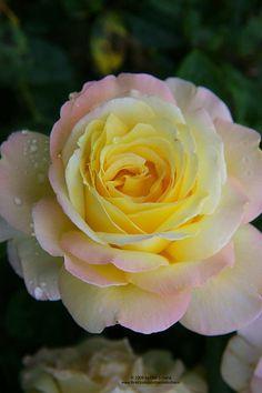 Rose (Rosa) http://flowersgifts.labellabaskets.com faragmoghaddassi@yahoo.com