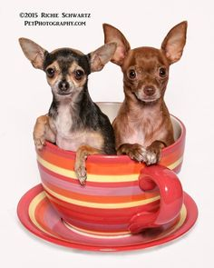 Chihuahua Names, Teacup Chihuahua, Chihuahua Love, Toy Dogs, Dog Toys, Pictures Of Chihuahuas, Italian Greyhound, Chi Chi, Yorkies