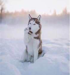 Hallo Winter #SiberianHusky