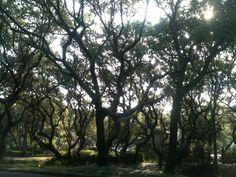 Trees on Amelia Island