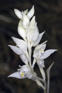 Phantom-orchid: Flower-detail of Cephalanthera austiniae in situ