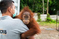 Help the rescue team reach more orangutans in danger - JustGiving