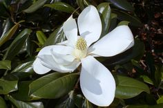 Southern Magnolia (Magnolia grandiflora) Blossom | Redcliffe… | Flickr - Photo Sharing!