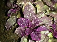 Foliage of a Variegated Bugleweed plant-Sun to part-shade, evergreen, ground cover, grows quickly, not fussy about soil, just needs drainage.