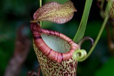 Read fascinating facts and browse beautiful, detailed photos of the titan arum (Amorphophallus titanum): one of thousands of plant species growing at the Eden Project in Cornwall. Rainforest Biome, Rainforest Project, Rainforest Activities, Titan Arum, Tropical Pitchers, Teaching Plants, Plant Science, Life Science, Oriental Flowers