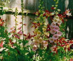 shade garden plants:  foxglove and columbine