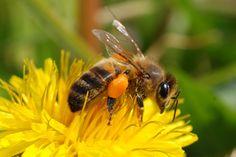 Francis Mauco / abeille sur fleur de pissenlit