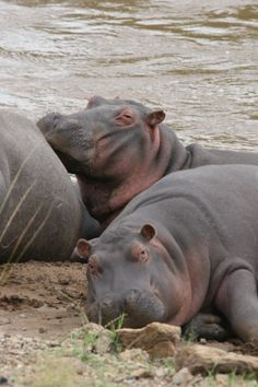 Hippos resting on a riverbank by Richard Ainsworth