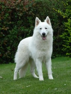 Bestofpicture.com - Images: White German Shepherds Pictures