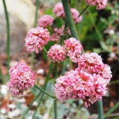 Low maintenance perennials for southern california garden and low maintenance perennials for southern california garden and flowers pinterest plants gardens and perennials mightylinksfo