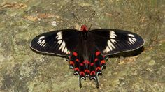 Crimson Rose (Pachliopta hector) Photo by Najin K Rhythm — National Geographic Your Shot