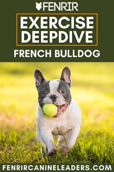Exercising your dog no matter the breed is very important and today you can learn the requirements of a French Bulldog French Bulldog Breed, Bulldog Breeds, Best Dog Breeds, Best Dogs, The Perfect Dog, Companion Dog, Medium Sized Dogs, Working Dogs, Dog Behavior