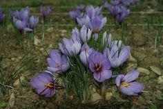 Safran - Saffron Fleurs de crocus sativus - crocus à safran. Safraneraie n°1 Entrechaux - Vaucluse - France. Saffron flower