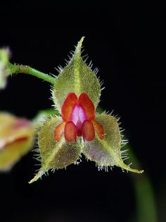 Lepanthes pulcherrima - A new species - Flickr - Photo Sharing!