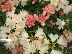 Hirsutum.info -- Rhododendron Hybrids/cultivars: 'Lachsgold'