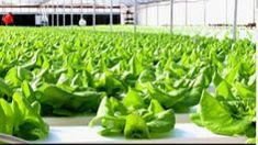 Middle East's Urban Green Revolution – Through Hydroponics - Pegasus Agriculture Hydroponic Farming Facilities Hydroponic Farming, Hydroponics System, Green Revolution, World Hunger, Agriculture, Green Beans, Spinach, Cabbage, Vegetables