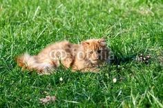 Check my #stock #photo @fotolia -#redcat #cat on the green grass