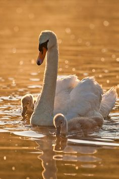 """Swan and Cygnets Sunrise"" by benjamincclark on Flickr - This is a swan with her baby cygnets at sunrise."