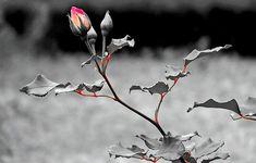 Orange Rose bud Stem Plant Branch hd wallpaper by kyouko Rose Flower Wallpaper, Byron Katie, Rose Stem, Little Bit, Psalm 119, Orange Roses, Jesus Is Lord, Black And White Pictures, Black White