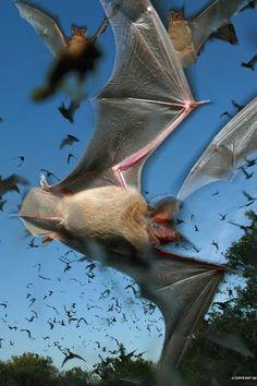 Do You Need Bat Removal Ontario , Canada