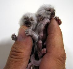A rare newborn albino Pygmy Marmoset monkey perches on a zookeeper's thumb at Froso Zoo in Ostersund, Sweden. The Pygmy Marmoset, which lives in the upper Amazon basin in South America, is the world's smallest monkey and reaches 35 cm ( 13.7 inches) in length and weighs up to 3.5 ounces at maturity.