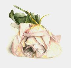 rose watercolor - Google Search