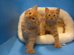 1000+ images about Polydactyl love :) on Pinterest ... Orange Polydactyl Cat