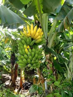 Banana Varieties sold by Seaview Farms